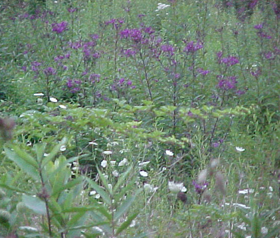 picture of cat's groovy meadow in august