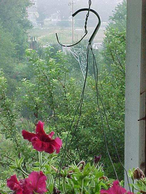 picture of dewy spider web on hanging magenta petunia